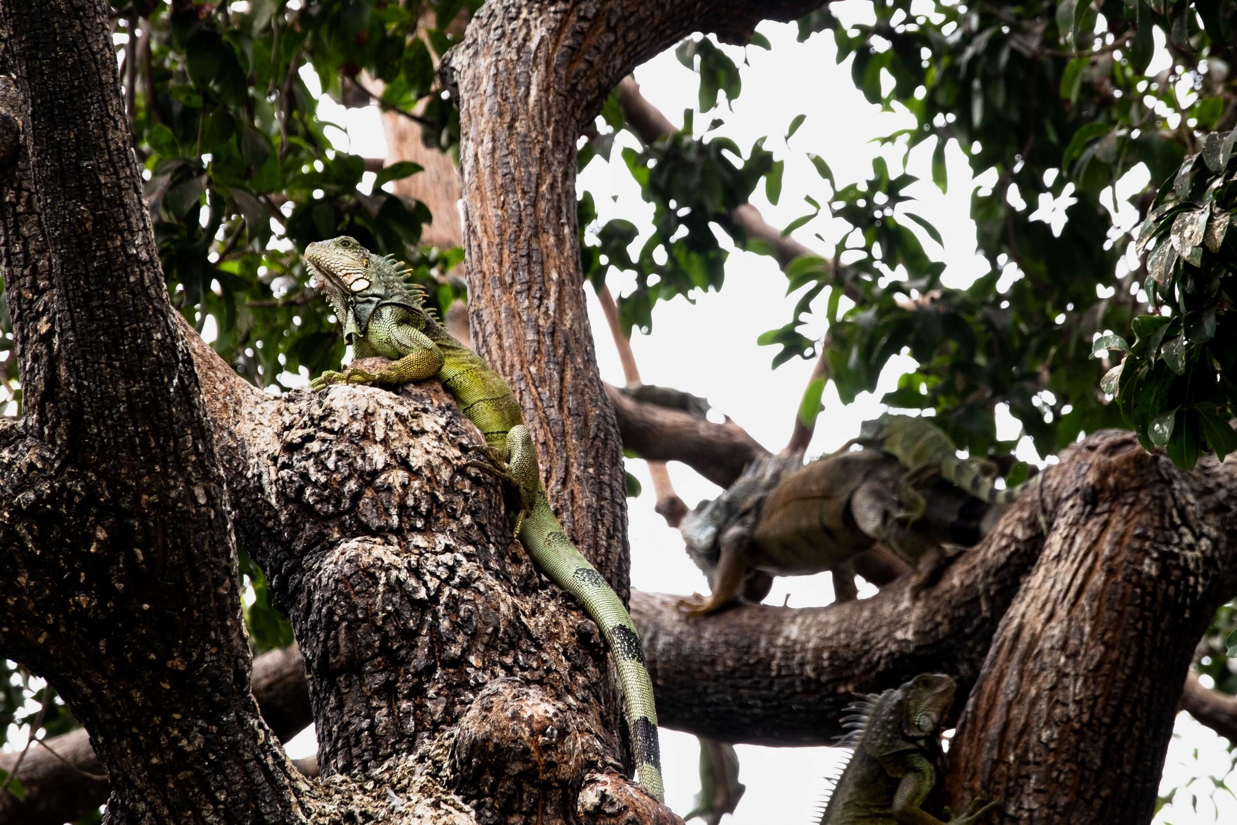 Iguanas, Parque de las iguanas, Guayaquil