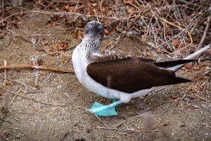Blue-footed boobie, Isla de la Plata, Ecuador, Travel blog, Travel photography, Photography blog