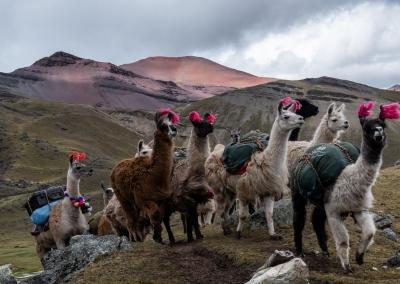 Lamas - Trek de l'Ausangate