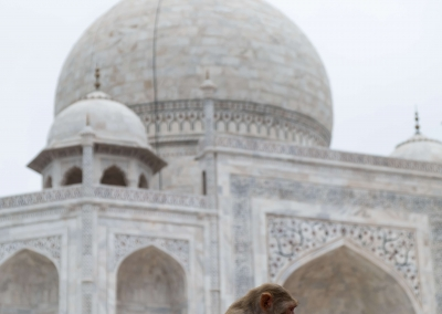 Baby monkey - Taj Mahal