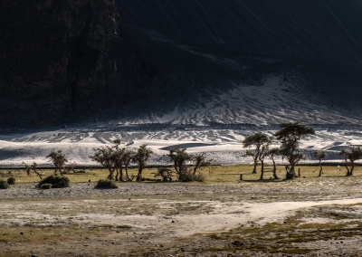 Trees - Nubra Valley