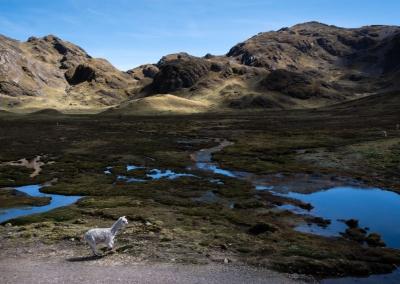 Free alpaca - Cusco